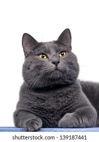 British shorthair cute cat sitting on wooden plank, isolated