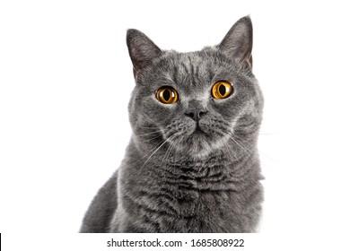 British Shorthair female cat sitting on white background