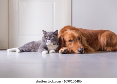 British Shorthair and Golden Retriever