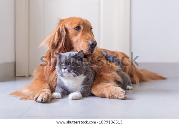 British Shorthair Golden Retriever Stock Photo (Edit Now) 1099136513