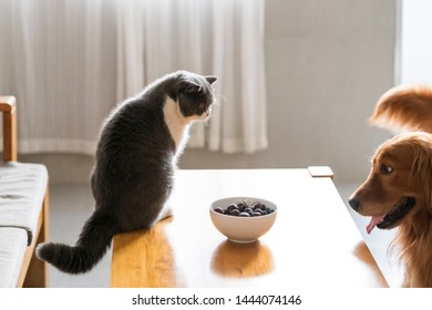 British shorthair and golden retriever look at the food in the bowl
