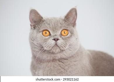 British shor-thair grey cat with big orange eyes isolated