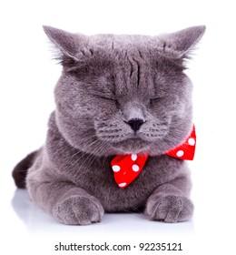 British shorthair grey cat sleeping on white background