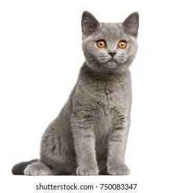 British Shorthair kitten, 3 months old, sitting in front of white background
