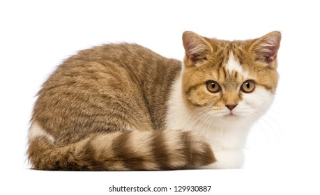 British Shorthair kitten, 3.5 months old, lying and looking at the camera in front of white background