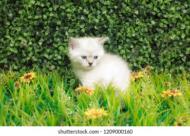 British Shorthair kitten with blue eyes on the green grass.