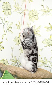 British Shorthair kitten (color Blotched tabby) plays with red rope