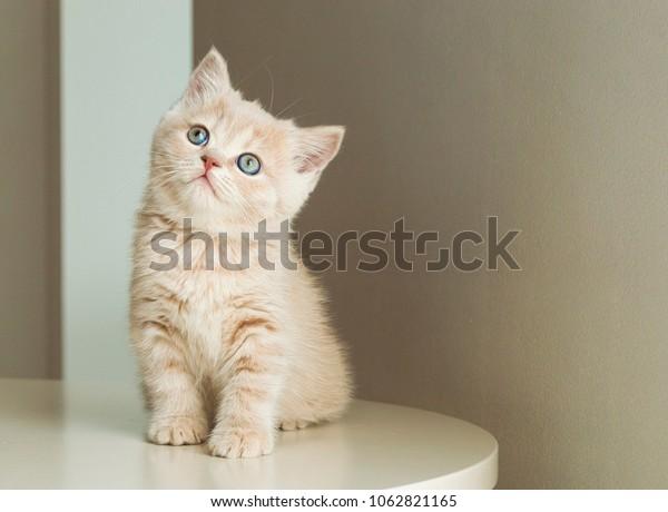 British Shorthair Kitten Cream Color On Stock Photo Edit Now 1062821165