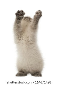 British Shorthair Kitten looking up and playing, 9 weeks old, against white background