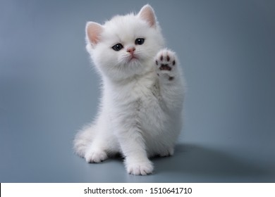 British Shorthair kitten of silver color on blue and gray backgrounds