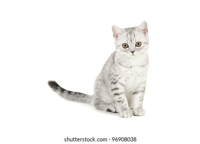 british shorthair kitten sitting in front on white