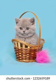 British Shorthair kitten sitting in a wicker basket on a blue background.