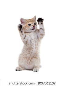 British Shorthair kitten with the tongue sticking out stands on its hind legs and waving the front. Isolated on white background