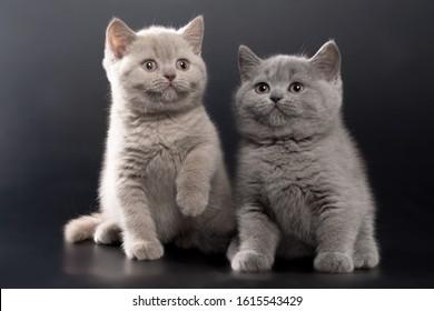 British Kittens Images Stock Photos Vectors Shutterstock