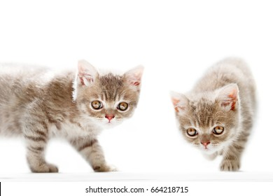 British Shorthair kittens on a white background
