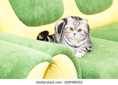 British Shorthair kitty (color Blotched tabby) lies on the couch