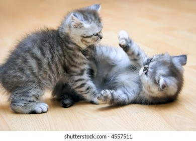 British Shorthair kittys