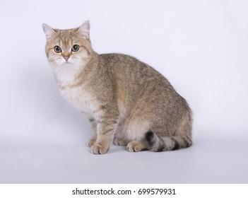 British shorthair little cat on white background