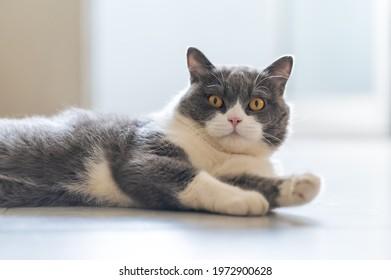 British Shorthair lying on the floor