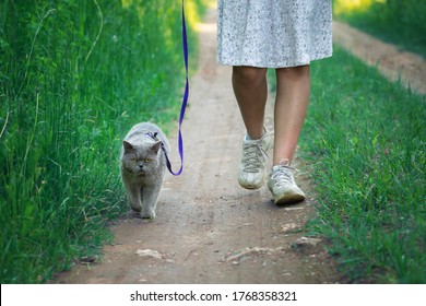 British shorthair male cat walks on a leash led by a teen girl wearing a white dress along a countryside road.