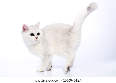 british shorthair silver chinchilla cat with green eyes on a white background