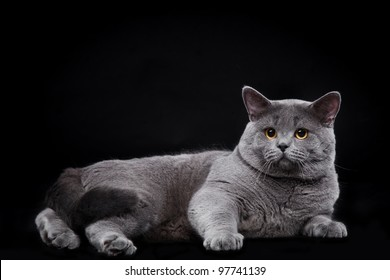 British Shorthair at the studio on black background
