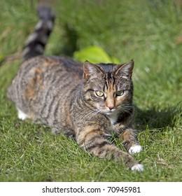British Shorthair Tabby Cat
