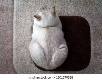 British shorthair tomcat lying on carpet