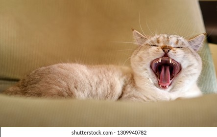 British shorthair tomcat with opened mouth