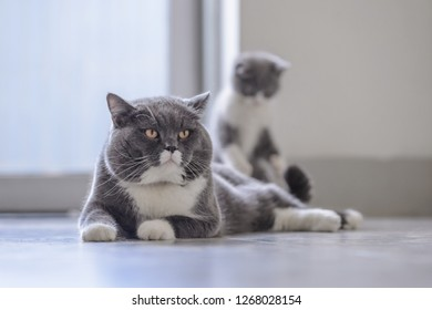 British short-haired cat daddy and Kitten
