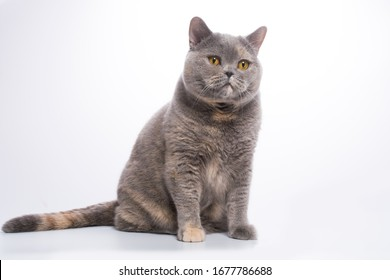 British short-haired cat female  of a tortoise blue-cream color with thick hdens heair and  round bright orange eyes on a white background isolate