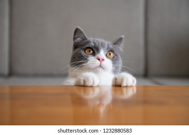 British short-haired cat lying on the table