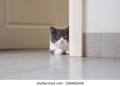 British short-haired cat lying on the ground