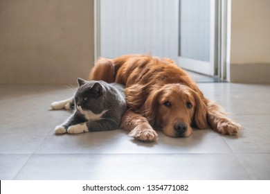 British short-haired cats and golden retriever dogs get along amicably