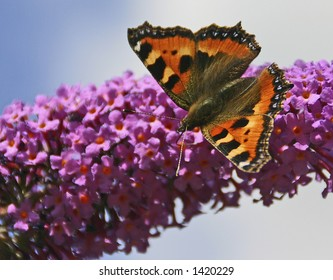 A British Small Tortoiseshell butterfly (latin: Aglais urticae) on a buddleia flower