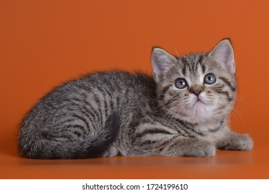 British spotted tabby kitten with yellow eyes on an orange background