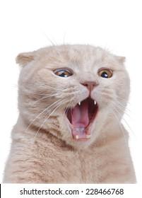 British Surprised cat isolated on white  background