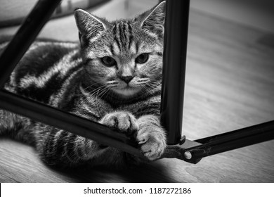 british tabby cat posing