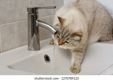 British tomcat drinking from the tap