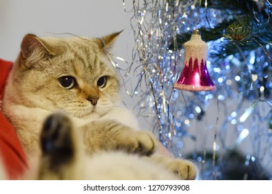 British tomcat lying in arms by christmas tree