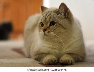 British tomcat lying on carpet