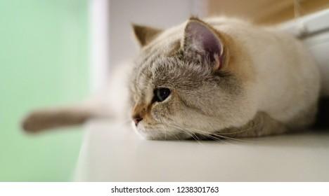 British tomcat lying on windowsill