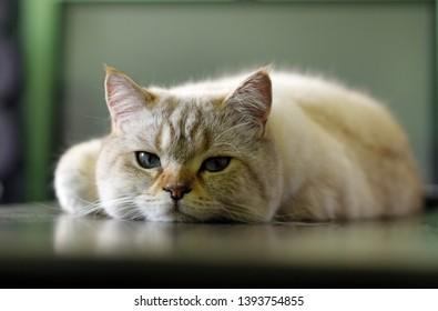 British tomcat lying on wooden table