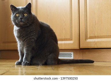 British tomcat sitting on parquet floor