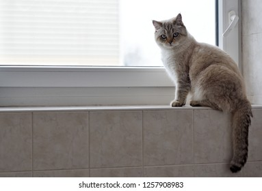 British tomcat sitting on windowsill in bathroom  (irwin)