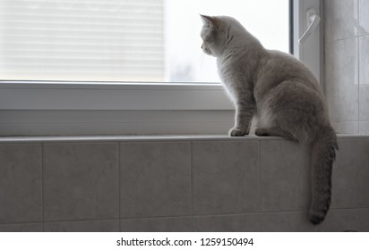 British tomcat sitting on windowsill in bathroom