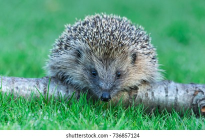 British, Wild Hedgehog on a Silver Birch Log, facing forwards in wet grass