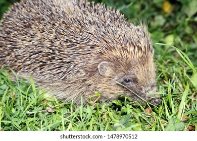 british wild hedgehog out looking for food at night uncurled