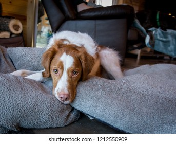 Brittany realzed on bunhc of dog pillow in cabin looking sad