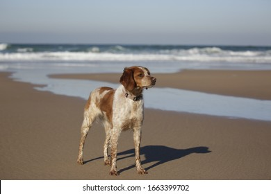 Brittany spaniel on the beach